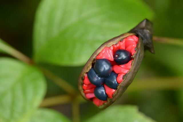 山芍薬の種2