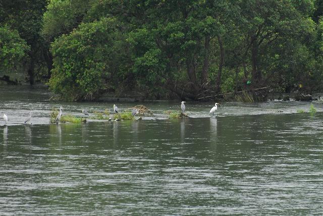 土手から川を見おろすとサギ達が・・・