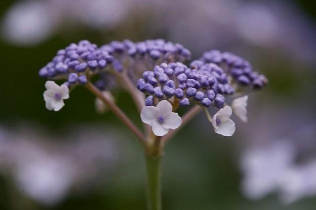 玉紫陽花2