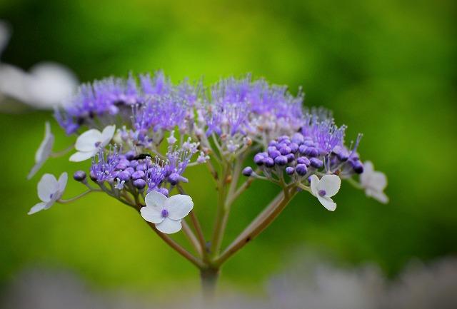 玉紫陽花4