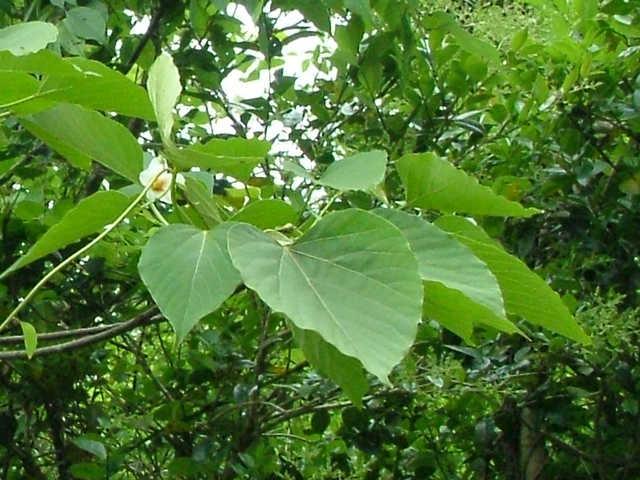 シナアブラギの葉と花