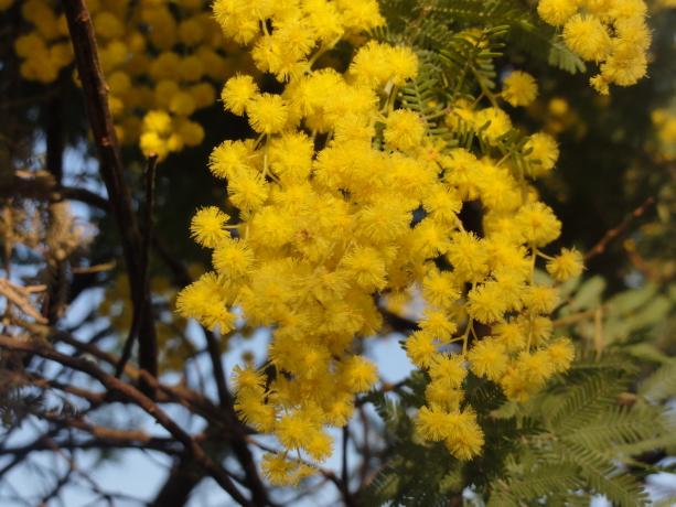 アカシアの花20140324-2