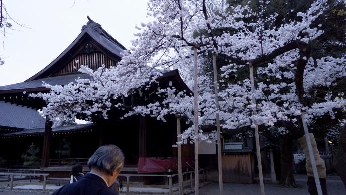 靖国神社&桜20140331-標準木