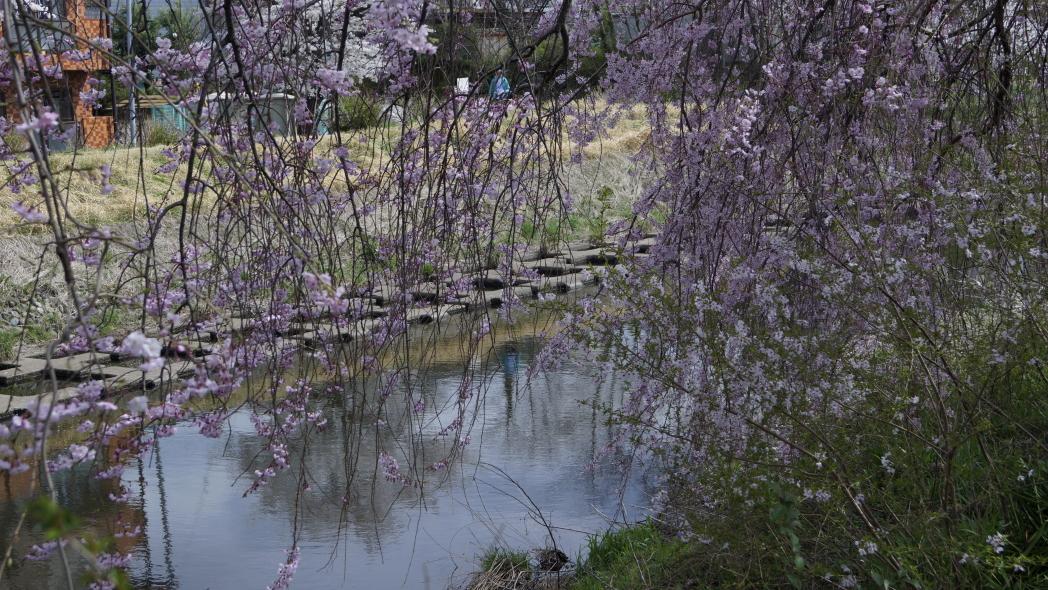枝垂れ桜2-20140402