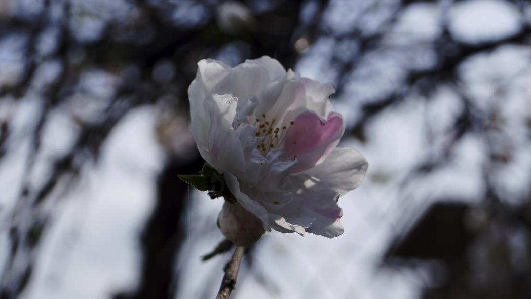 ピンクハートの一輪20140402
