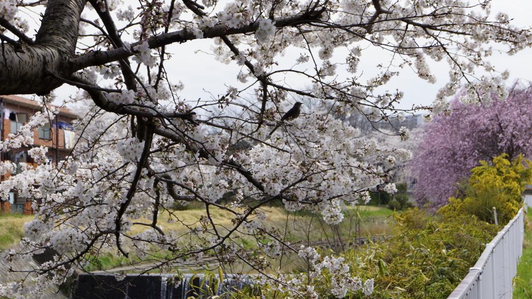 ヒヨドリ&桜20140402