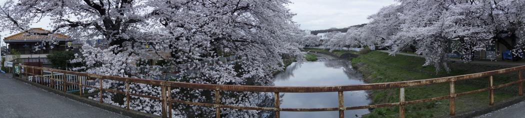 霜川の桜20140401W2A