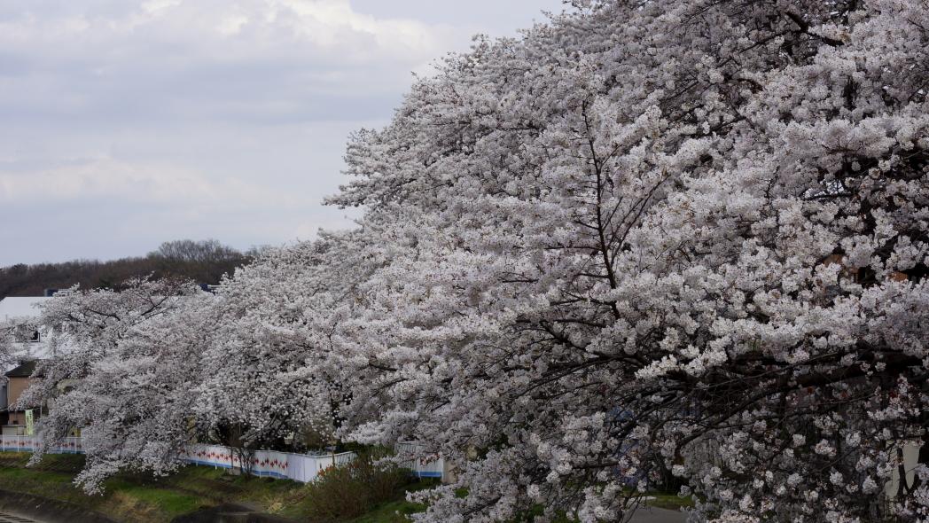 霜川の桜2-20140402