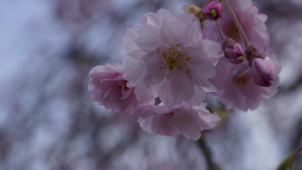枝垂れ桜20140402