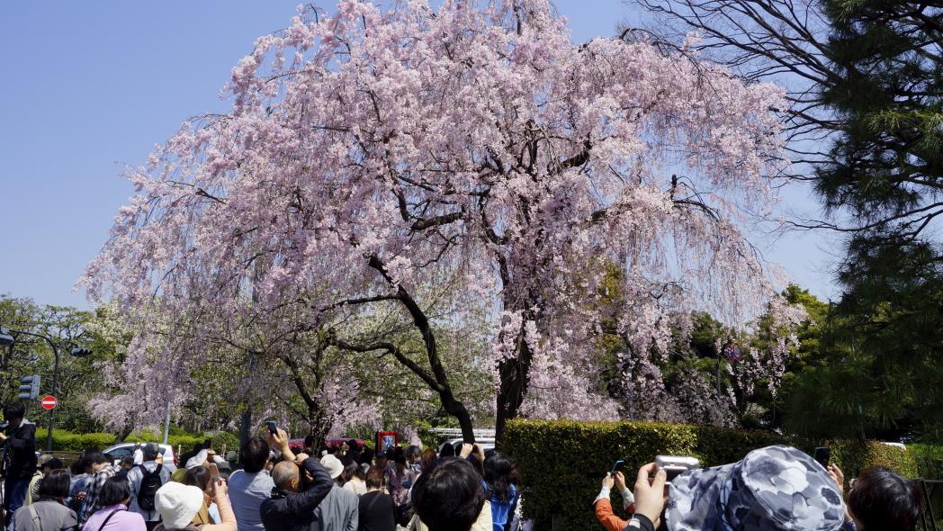 乾門入り口の桜5989-20140408