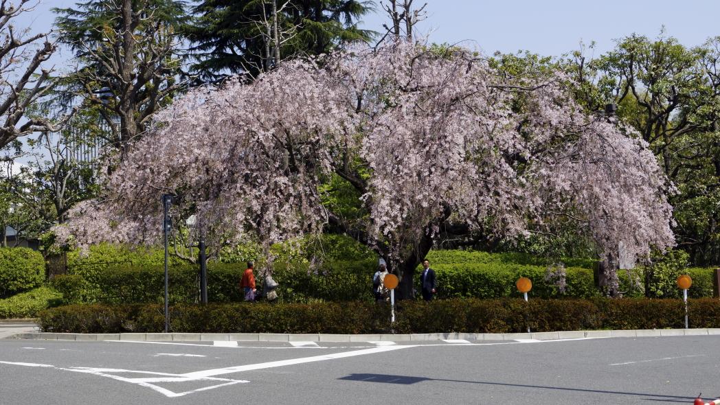 代官町首都高入り口の桜5995-20140408