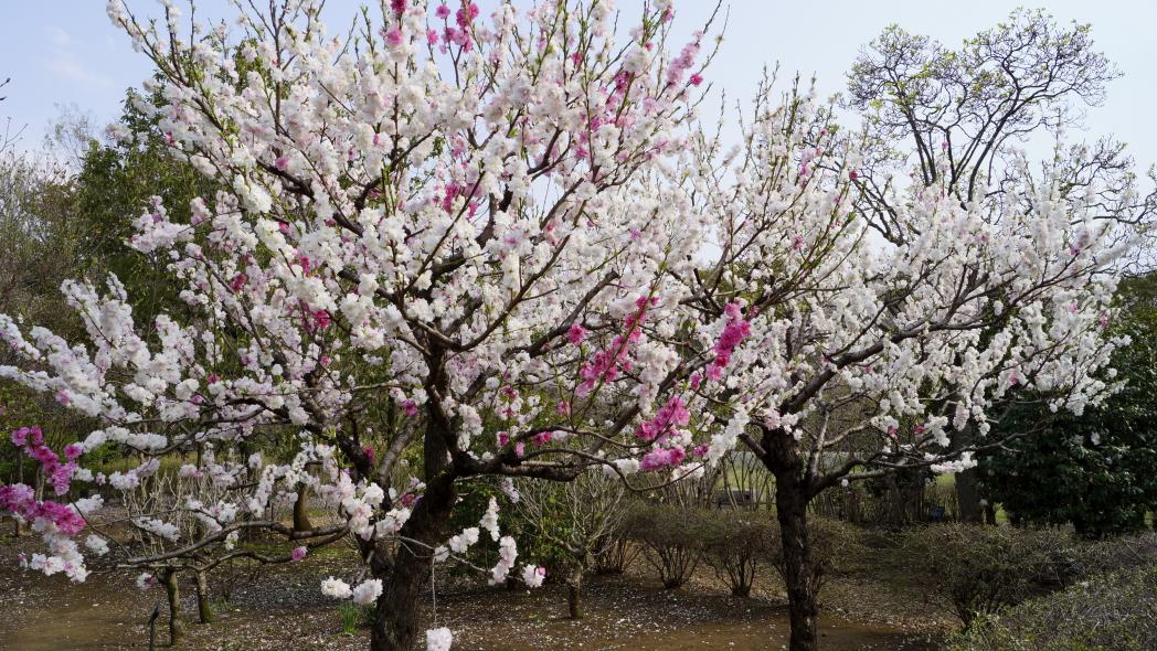 智光山公園ー紅白梅6047ー20140410