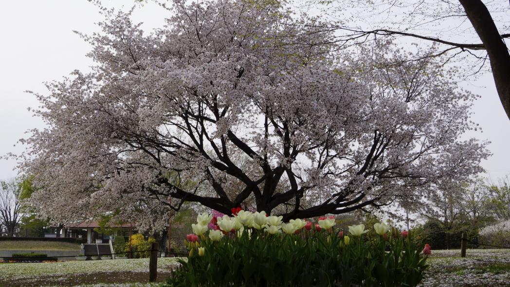 6118智光山ー桜&チュリップ-20140410