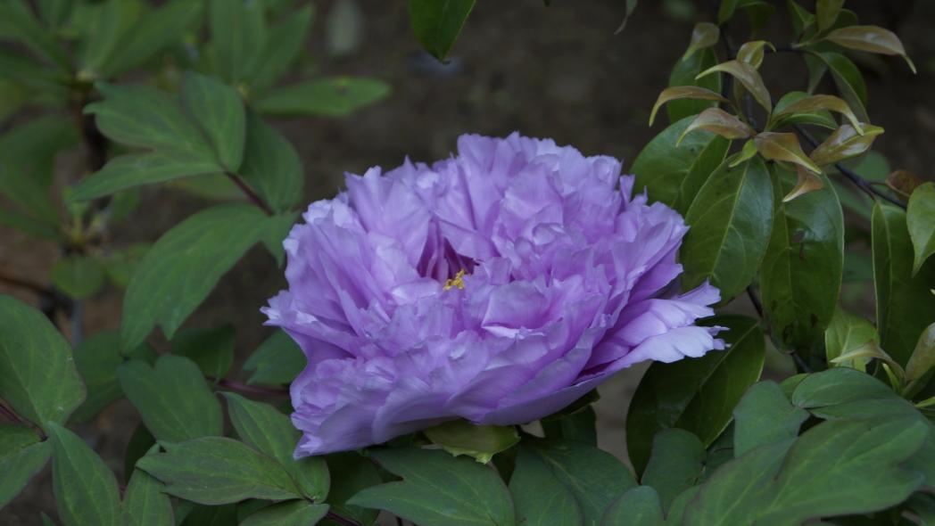 20140427多門院ボタンー紫4