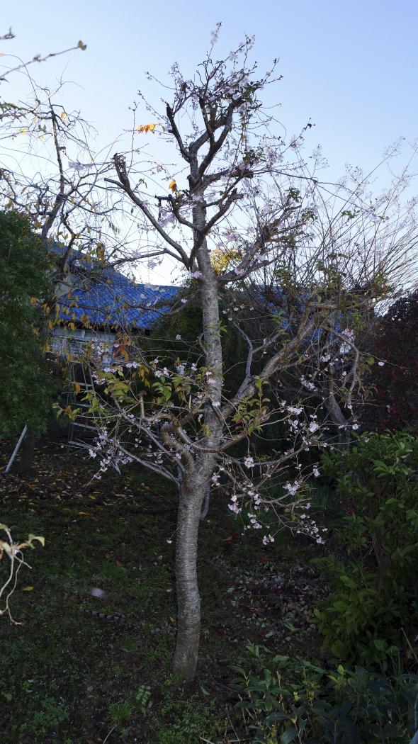 11月の梅の花ー1AAA 20141113