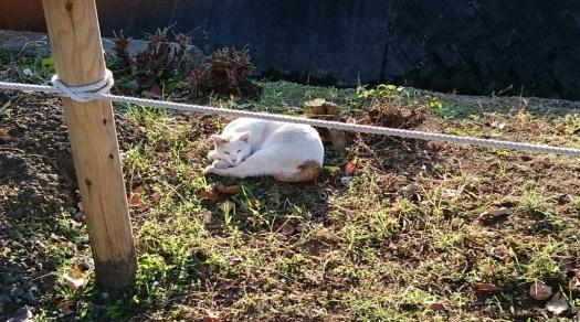 河川敷の白猫2AAA-5 20141113