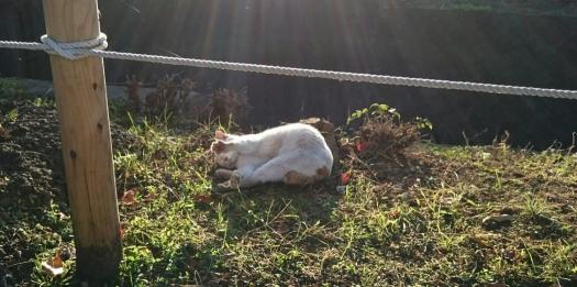 河川敷の白猫4AAA-5 20141113