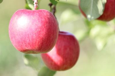 中井観光農園 リンゴ 10-07-13069(400)