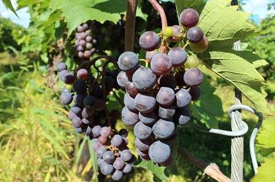 中井観光農園 ワインぶどう 08-28-13 (400) 042