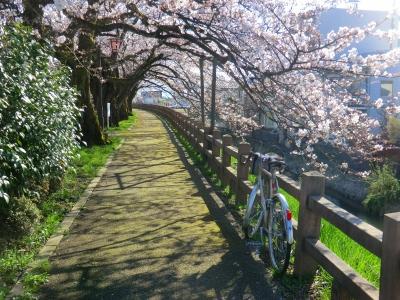 磯部堤の桜