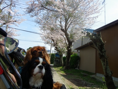 まろなぎと桜