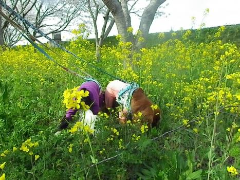 菜の花に食らいつくまろなぎ