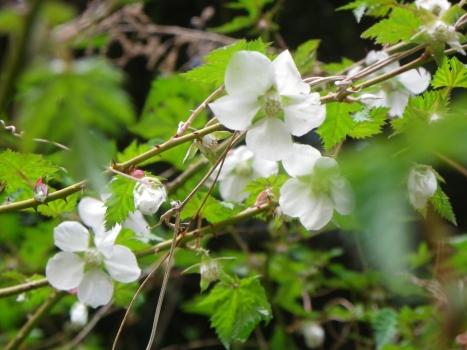 木いちごの花