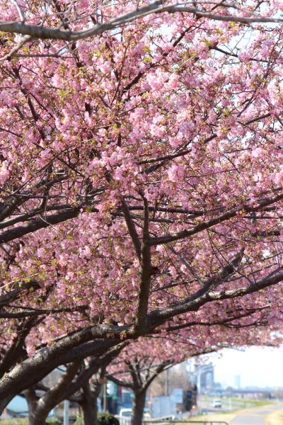 IMG_3411多摩川の河津桜多摩川の河津桜