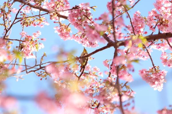 IMG_3398多摩川の河津桜多摩川の河津桜