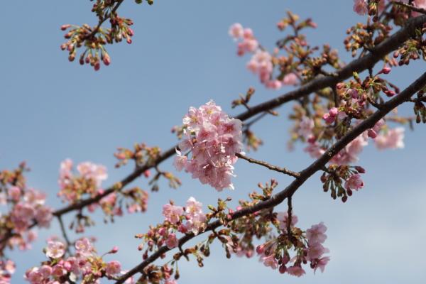 IMG_3381河津桜河津桜
