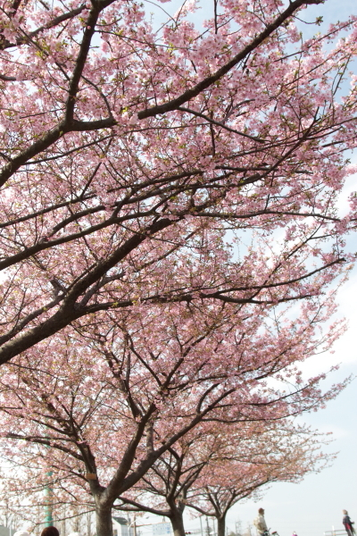 IMG_3382メール添付河津桜