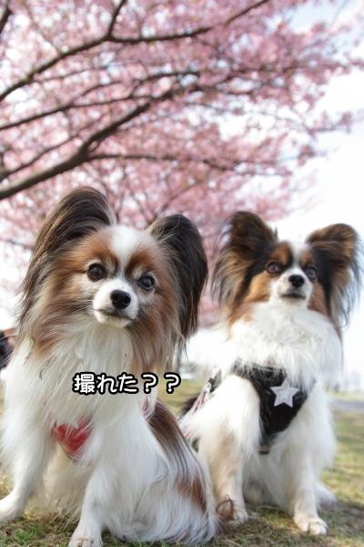 IMG_3385河津桜河津桜