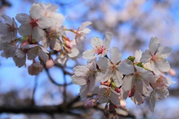 IMG_0471ふるさと公園の桜ふるさと公園の桜
