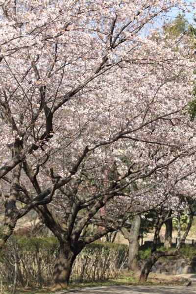 IMG_0559ふるさと公園の桜ふるさと公園の桜