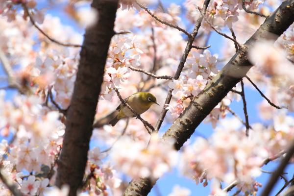 IMG_0537ふるさと公園の桜ふるさと公園の桜