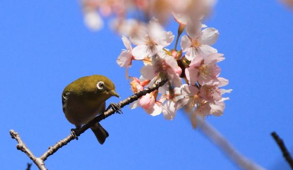 IMG_0544ふるさと公園の桜ふるさと公園の桜