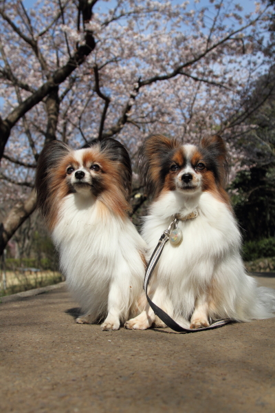 IMG_0523ふるさと公園の桜ふるさと公園の桜
