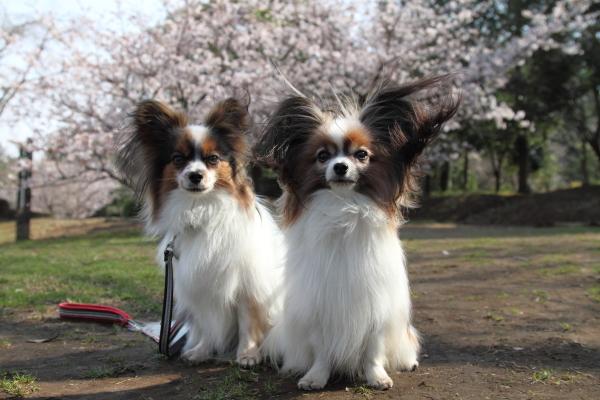 IMG_0501ふるさと公園の桜ふるさと公園の桜