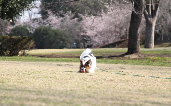 IMG_0495ふるさと公園の桜ふるさと公園の桜