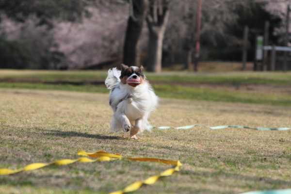 IMG_0496ふるさと公園の桜ふるさと公園の桜