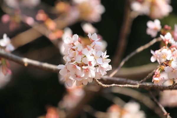 IMG_0534ふるさと公園の桜ふるさと公園の桜