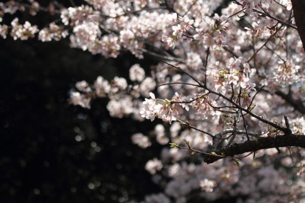 IMG_0553ふるさと公園の桜ふるさと公園の桜