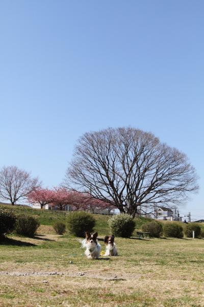 IMG_8558河津桜 3・11河津桜 3・11