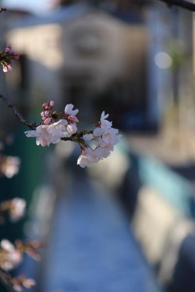 IMG_3514西宮の桜桜 2014