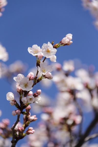 IMG_3532西宮の桜桜 2014