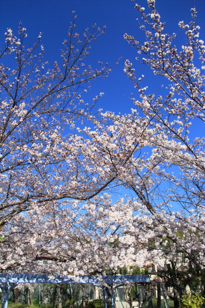 IMG_3531西宮の桜桜 2014