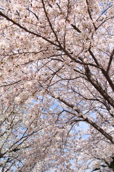 IMG_3596桜 2014桜 2014