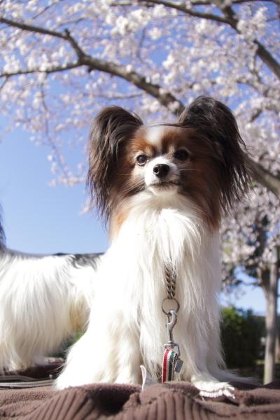 IMG_3543西宮の桜桜 2014