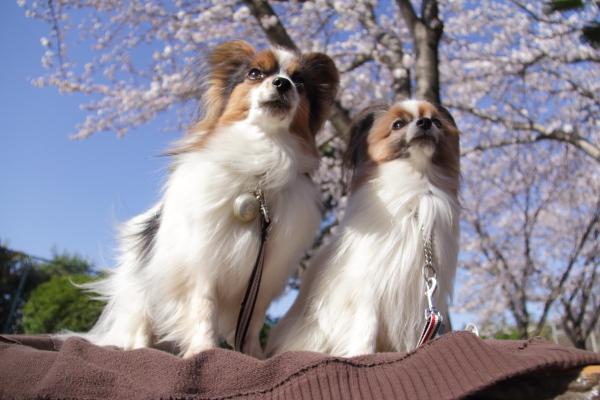 IMG_3549西宮の桜桜 2014