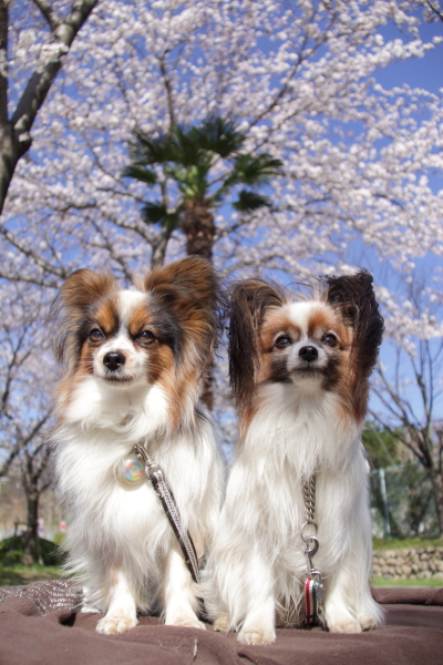 IMG_3556西宮の桜桜 2014